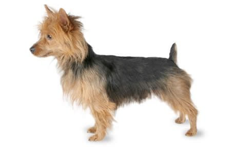 Australian Terrier Dog Breed Information Pictures