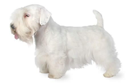Sealyham Terrier Dog Breed Information, Pictures, Characteristics ...