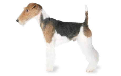 Fox Terrier Dog Breed Information, Pictures, Characteristics & Facts ...