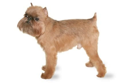 Brussels Griffon Dog Breed Information, Pictures