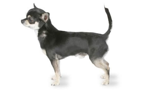 Chihuahua Dog Breed Information, Pictures, Characteristics & Facts