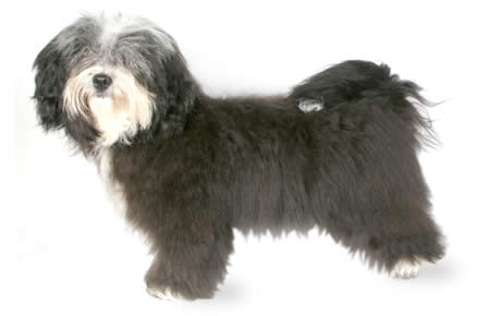 Havanese Dog Breed Information Pictures Characteristics Facts
