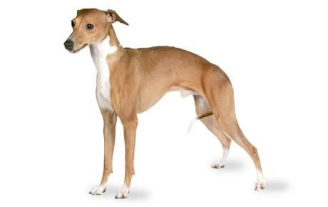 file_23110_italian-greyhound