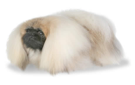 Pekingese Dog Breed Information Pictures Characteristics