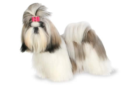 shih tzu dog breed information pictures characteristics facts