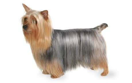 silk terrier silky terrier dog breed information pictures 8580