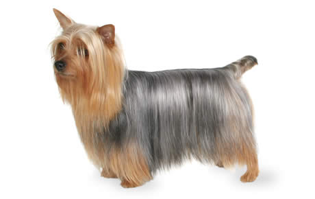Silky Terrier Dog Breed Information, Pictures, Characteristics & Facts ...