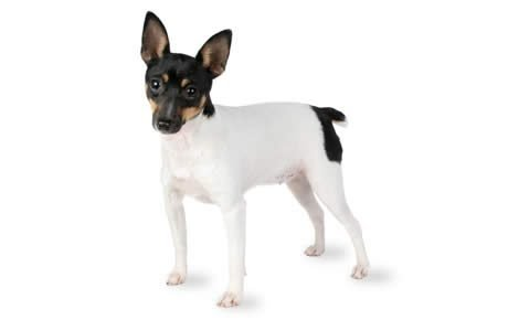 Hard Times For Foxs Version Of Fair And >> Toy Fox Terrier Dog Breed Information Pictures Characteristics