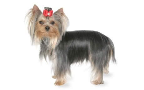 Yorkshire Terrier Dog Breed Information, Pictures