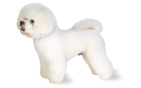 Bichon Frise Dog Breed Information, Pictures, Characteristics ...