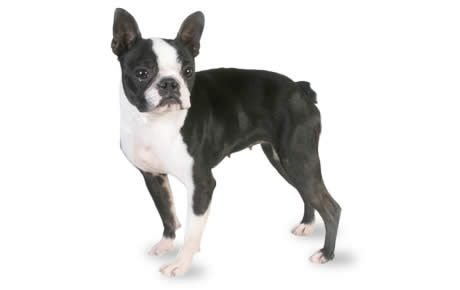 file_23138_boston-terrier