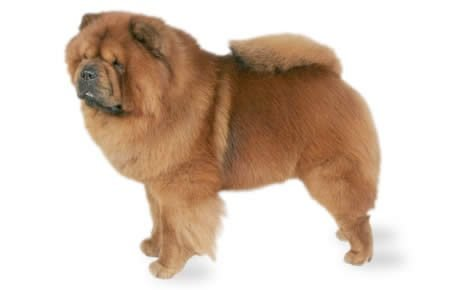 Chow Chow Dog Breed Information, Pictures, Characteristics & Facts ...