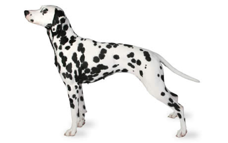 dalmatian dog breed information pictures characteristics facts