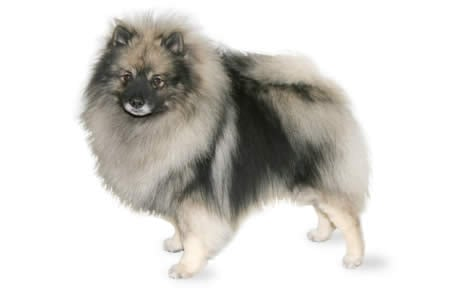 keeshond dog breed information pictures characteristics facts dogtime