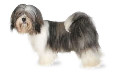 Lhasa Apso Dog Breed Information Pictures