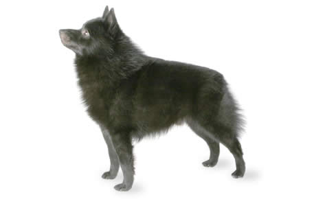 Schipperke Dog Breed Information Pictures Characteristics Facts Dogtime