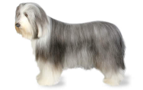 Bearded Collie Dog Breed Information, Pictures ...