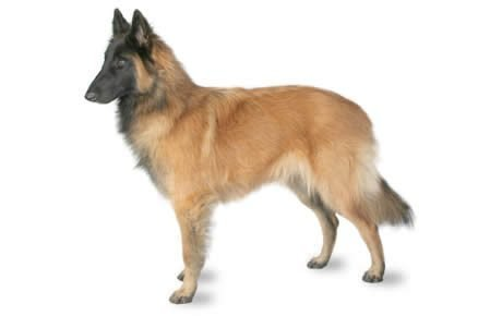 Belgian Tervuren Dog Breed Information, Pictures