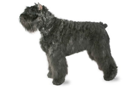 sergeant peppers bearded collie