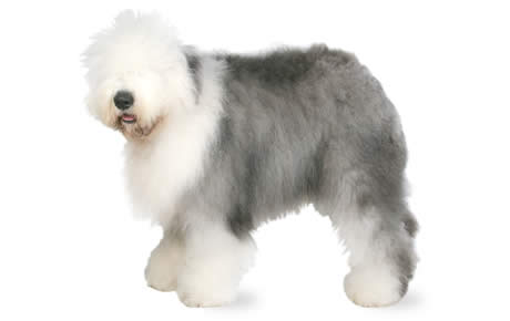 Old English Sheepdog Dog Breed Information Pictures