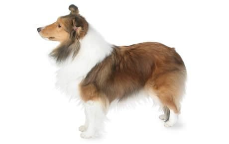 Sheltie: a description of the breed