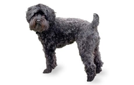 Schnoodle Dog Breed Information, Pictures, Characteristics