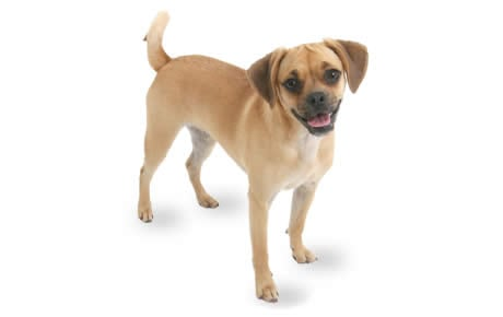 Puggle Dog Breed Information Pictures Characteristics