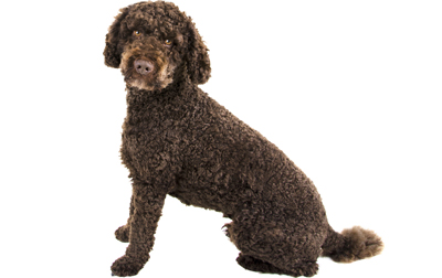 Labradoodle Dog Breed Information Pictures
