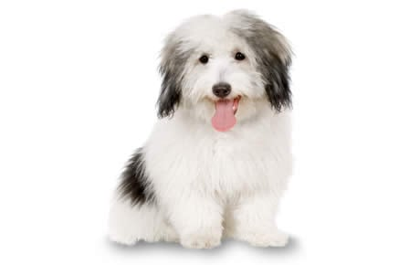 Coton De Tulear Dog Breed Information Pictures