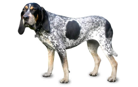 Bluetick Coonhound Dog Breed Information Pictures Characteristics Facts Dogtime