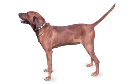 Redbone Coonhound Dog Breed Information, Pictures, Characteristics ...