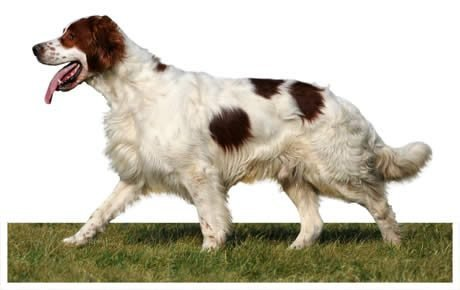 Irish Red and White Setter Dog Breed Information, Pictures ...