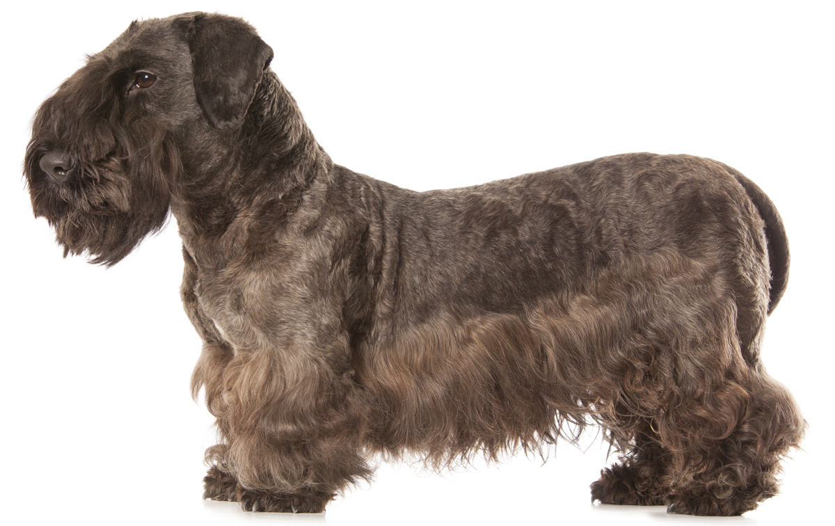 cesky terrier dog breed information, pictures, characteristics