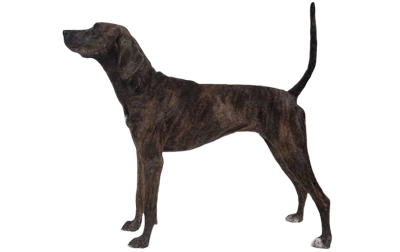 Treeing Tennessee Brindle Dog Breed Information, Pictures