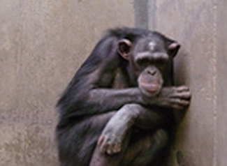 For now, the Alamogordo chimps will not go back to the lab