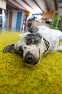 Muttville adopts out its 1000th dog