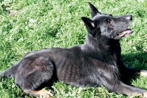 Retired police dog rescued from neglectful handler