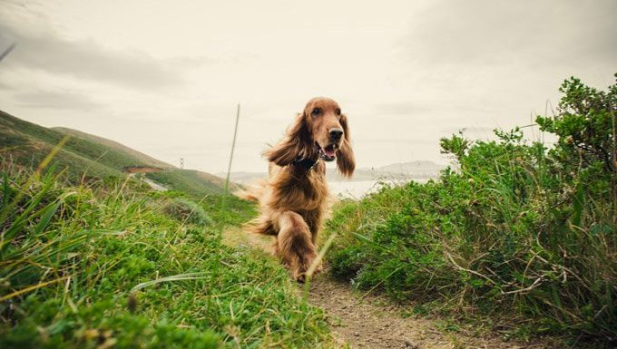 irish setter walks along nature path