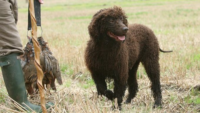 Irish Water Spaniel walks next to fowl hunter