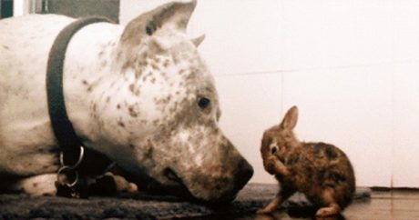 Pit Bull dog cleans a bunny