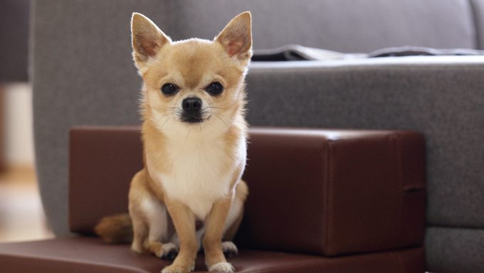 chihuahua dog wants to know the best chihuahua names