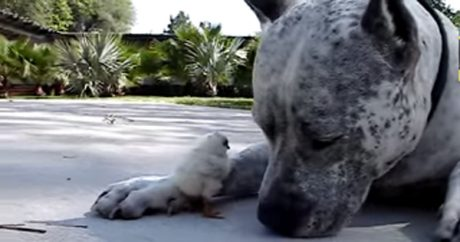Gentle Pit Bull Named Sharky And A Baby Chick [VIDEO]