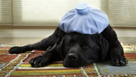 Dog Flu (Canine Influenza): Symptoms, Causes, & Treatments