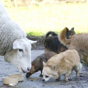 Orphaned sheep lives a dog's life