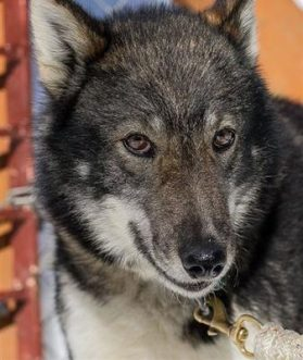 First dog dies in this year's Iditarod