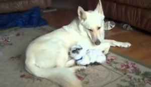 Gentle German Shepherd Dog Adopts Baby Goat [VIDEO]