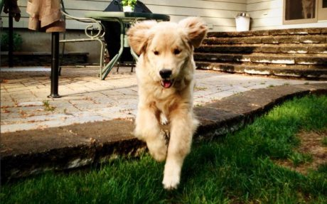 Ray Charles Blind Golden Retriever Steals Hearts
