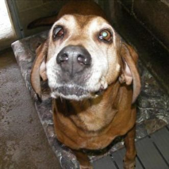 Old Hound lives at Ohio shelter for 9 years