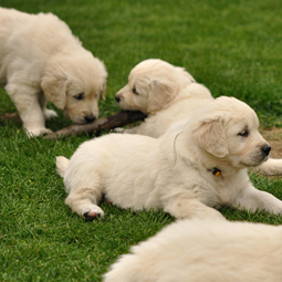 DogTime video of the week: Puppies' first fall