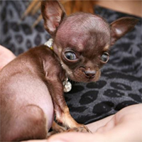 "Guinness crowns new ""World's Smallest Dog"""
